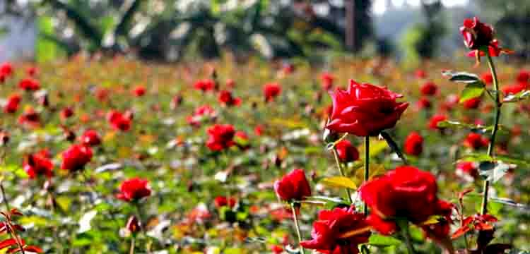 বছরে ১০ কোটি টাকার গোলাপ বিক্রি হচ্ছে চকরিয়ায় ,বরইতলী ও হারবাংয়ে দুই শতাধিক বাগান